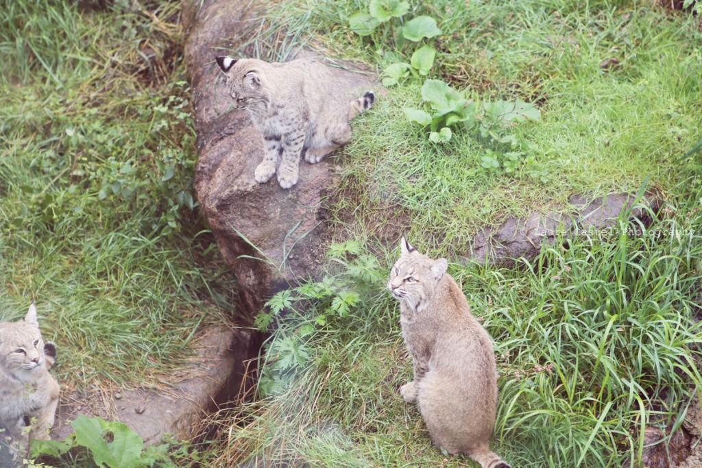 Montreal Quebec voyage le zoo sauvage de St-Felicien Les Petits Riens