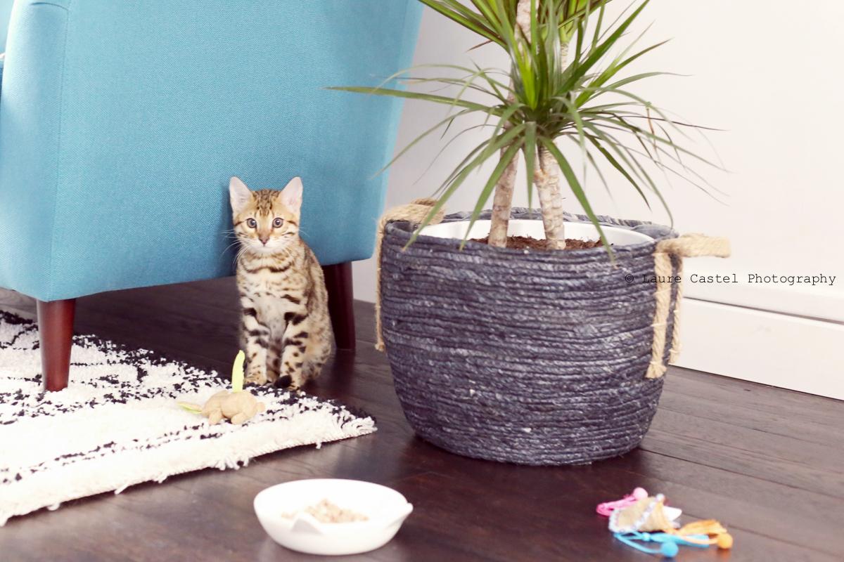 Chat de Bengal chaton 3 mois | Les Petits Riens