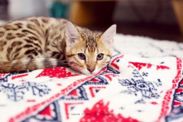 Chat de Bengal chaton 3 mois   Les Petits Riens